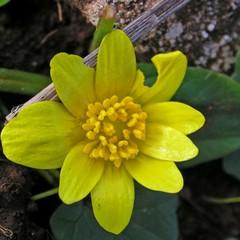 Favagello maggiore-  Ranunculus ficariformis F.W.Schultz