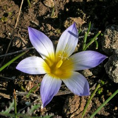 Zafferanetto comune – Romulea bulbocodium (L.) Sebastiani et Mauri