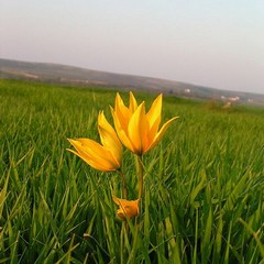 Tulipano dei campi – Tulipa sylvestris L.
