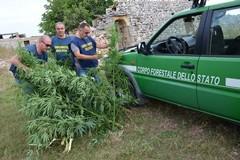 Scoperta piantagione di Cannabis