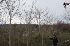 """Parco dell'Alta Murgia, sparisce l'infestazione della pianta """"ailanto"""""""