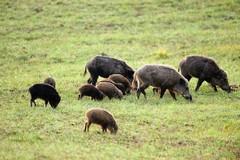Riecco i cinghiali, si ripete il fenomeno dei danni all'agricoltura