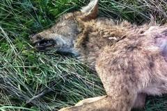 Una lupa uccisa a colpi di arma da fuoco