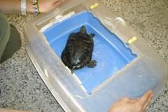 Ecco la tartaruga abbandonata in via Catania