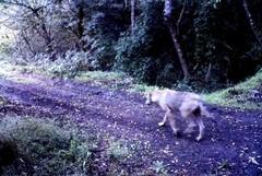 Allarme lupi sull'Alta Murgia