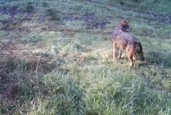 Due lupi morti investiti ad Altamura e Sannicandro