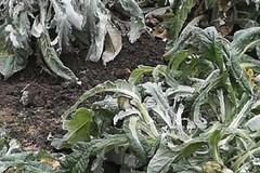 Gelate, danni all'agricoltura anche nell'area murgiana
