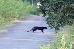 Pantera nera nelle campagne baresi? Continua la ricerca