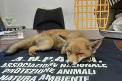 Soccorsa una piccola volpe trovata nelle campagne di Altamura