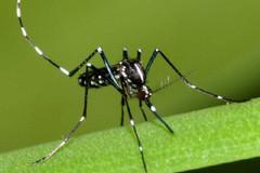 Zanzara tigre: massima allerta in Puglia