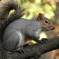 Trovato ad Altamura uno scoiattolo grigio