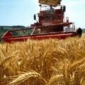 Maltempo, in ginocchio la raccolta del grano