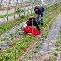Agricoltura: invasione di insetti alieni