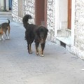 Cani aggressivi in via Santeramo