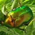La Cetonia, un coleottero color metallo
