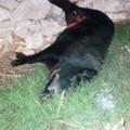 Cinghiali uccisi nel Parco dell'Alta Murgia, indagini dei carabinieri