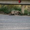 Carcassa di cane da una settimana sul ciglio della strada