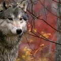 Ritrovata carcassa di lupo nel Parco Nazionale dell'Alta Murgia