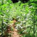 In vigore la legge sulla coltivazione della Canapa