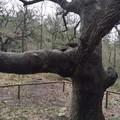 Ad Altamura sette alberi monumentali