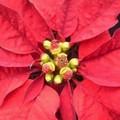 Dieci querce ed una stella per Natale