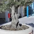 Tre ulivi lasciati senza acqua all'Ospedale della Murgia