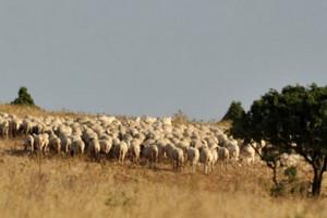 pecore sullamurgia